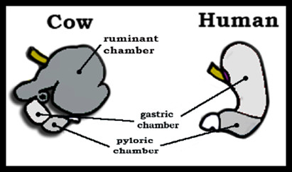 Comparison Between Cow and Human Digestive System